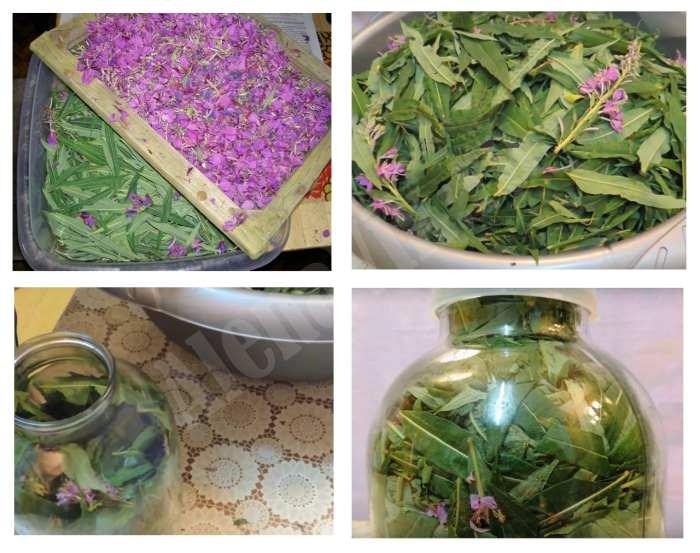 Иван чай - как собирать, сушить, приготовить 48