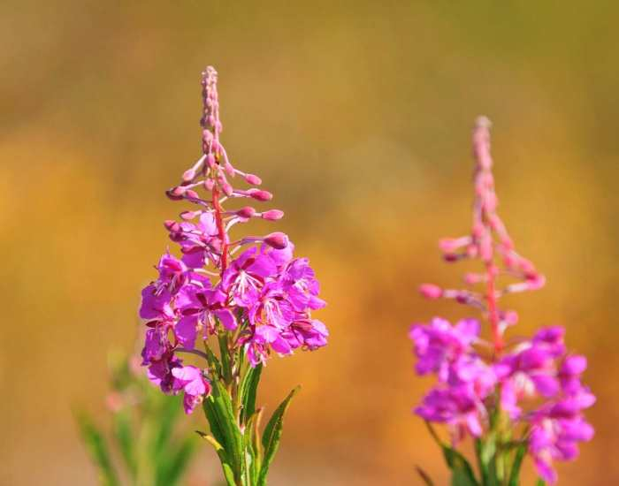 иван чай целебные свойства растений